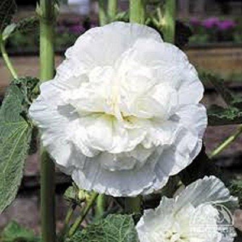 30 White Double Hollyhock Flower Seeds  Perennial