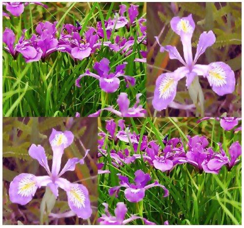 60 OREGON IRIS Flower Seeds Iris tenax Color Purple White Perennial