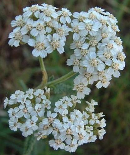 Achillea Yarrow Millefolium White Perennial Seeds