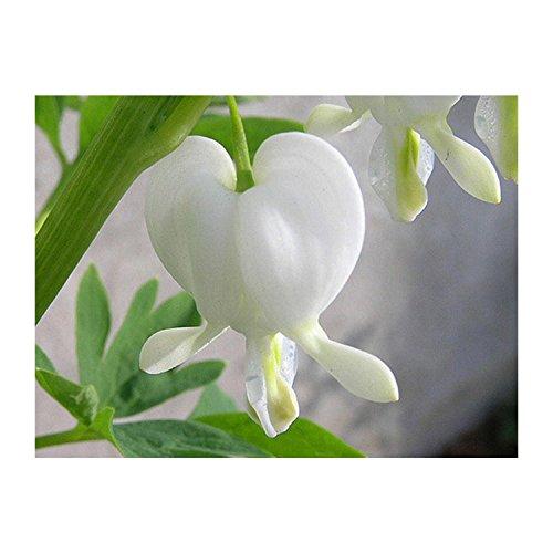 Bleeding Heart - Alba - Plant - Live - Healthy - White - Perennial - Potted Quart - 1 Plant
