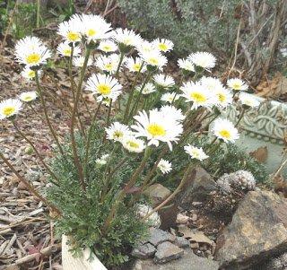 Erigeron Daisy ~white-dwarf Mountain Fleabane~quoterigeron Compositus-rocky&quot ~new~ 20 Perennial Seeds
