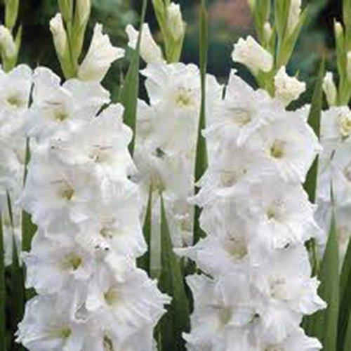Gladiolus Bulb 10 Pack White Clouds Snow White Perennial Gladiolus Bulbs Flowers