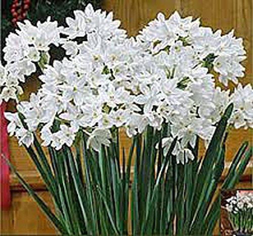 Paperwhite Bulb 1 Bulb Daffodil  White Perennial Paperwhite Daffodil Bulbs Yellow Flowers