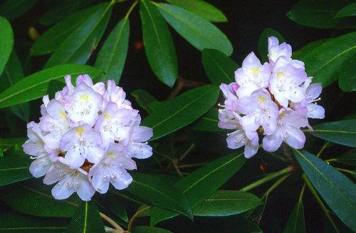 25 Purple Queen Rhododendrun  Flowers Shrubs  Trees Shade Loving Perennial