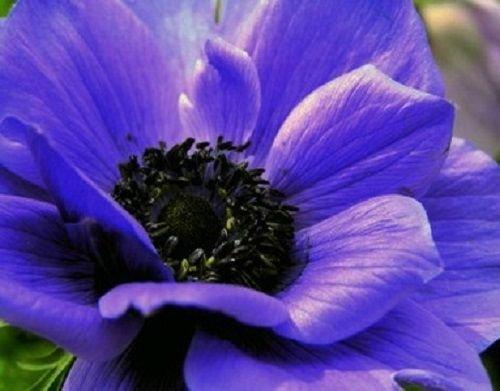 40 ANEMONE PURPLE PERENNIAL FLOWER SEEDS