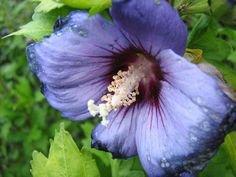 50 Purple Hollyhock Alcea Flower Seeds perennial