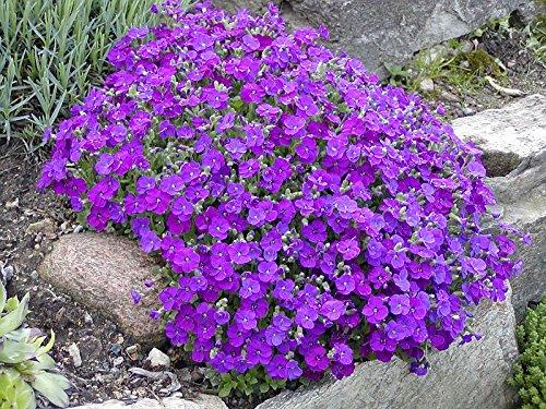 Aubrieta Cascade Purple Aubrieta Hybrida Perennial Flower Plant Heirloom Seeds