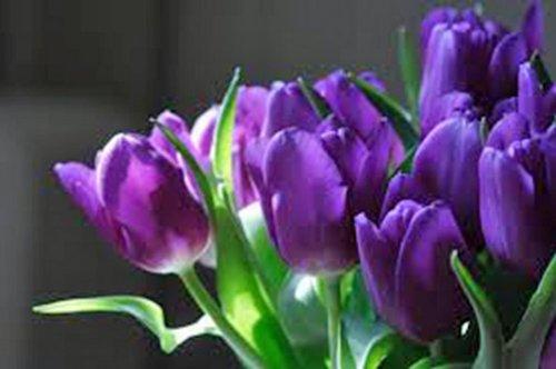 Tulip Bulb One Bulb Purple Prince Regal Purple Perennial Tulip Bulbs Purple Flowers