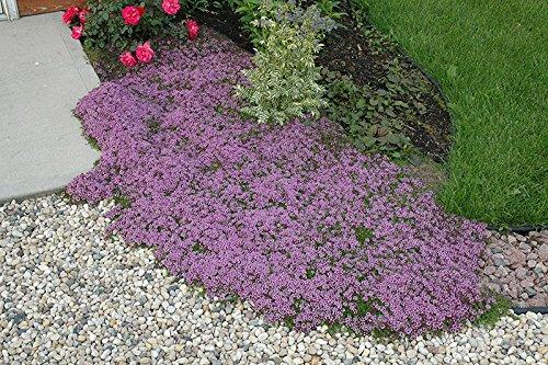 100 Thyme Creeping Herb Flower Heirloom Seeds Fragrant Perennial