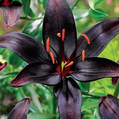 Asiatic Lily Bulbs - BLACK WIZARD - Fragrant Perennial - Dark Burgundy - 2 Bulbs