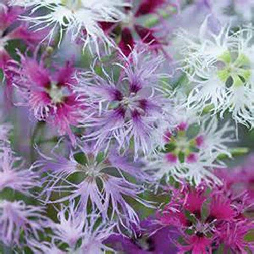 Dianthus RAINBOW LOVELINESS MIX-3 Live Perennial Flower Plants-INTOXICATINGLY FRAGRANT-Heirloom-Organic-Super HardyHeirloom
