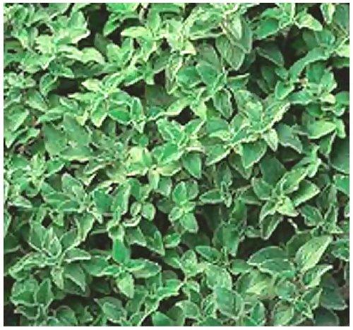 4 Packs x 1500 Greek Oregano Origanum vulgare hirtum SEEDS - PERENNIAL HERB - Heavy Oregano Aroma In 5 Inch Plants - By MySeedsCo