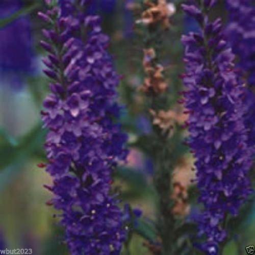 50 Himalayan Catmint - Nepeta clarkei -Catmint Catnip Seeds Perennial Herb