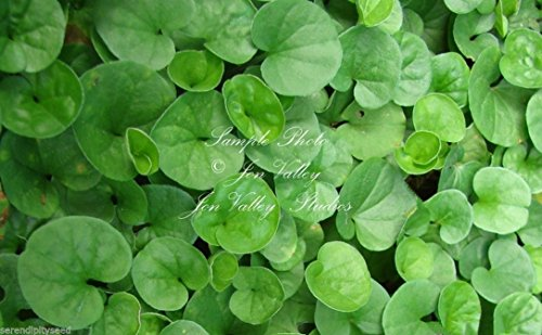 Centella Asiatica Seeds Asiatic Pennywort Small Perennial Herb Pink Flowers