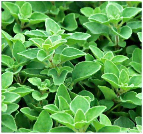 Greek Oregano Origanum vulgare hirtum SEEDS - PERENNIAL HERB - Heavy Oregano Aroma In 5 Inch Plants - By MySeedsCo 001500 Seeds - Pkt Size