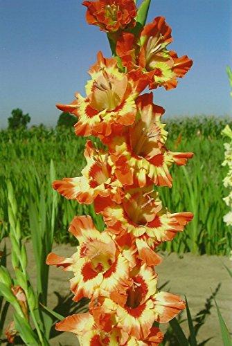 10 Fiesta YellowOrange Gladiolus BULBS Summer flowering Perennial