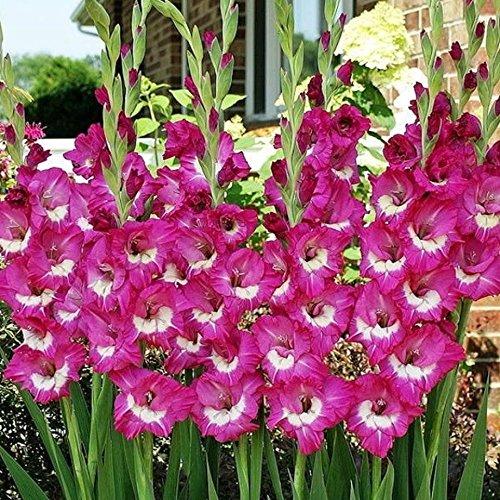 Rhapsody in Blue Gladiolus Purple 10 bulbs Summer flowering Perennial