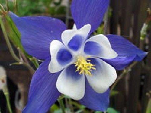 50 Aquilegia Blue Star Columbine Flower Seeds  Perennial