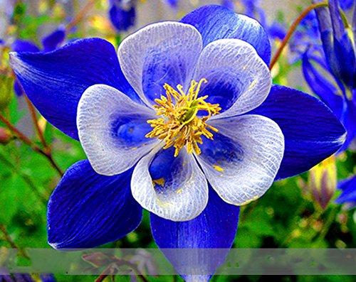 Adb Inc Rare Aquilegia Blue Columbine Perennial Flower Seeds