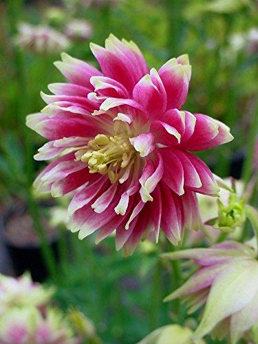 Columbine Seeds - Nora Barlow -heirloom- Shade Perennial -theseedhouse-10 Seeds