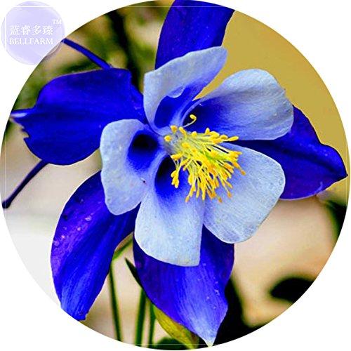 Seeds Market BELLFARM Rare Aquilegia Blue Columbine Perennial Flower Seeds Professional Pack 50 Seeds Very Beautiful Garden Flower