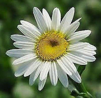6 Plants Daisy Queenlsquobecky&rsquo Shasta Daisyndash Perennial