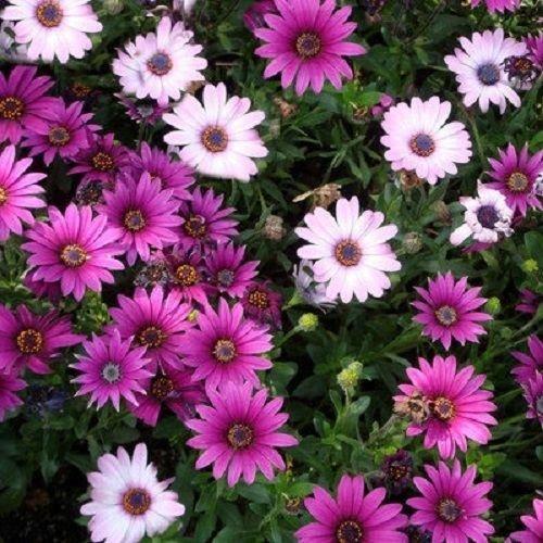 African Daisy Seeds Osteospermum Ecklonis Mix 50 Seeds perennial Seeds