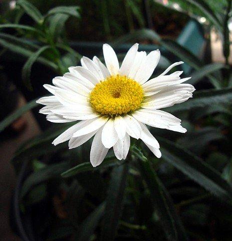 Alaska Shasta Daisy Perennial - 200 Seeds 1 G
