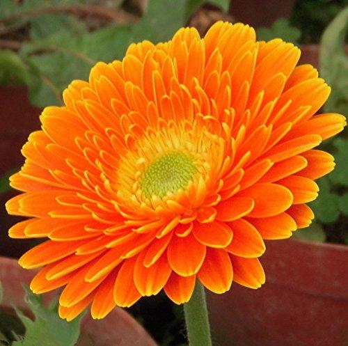 Futaba&reg Gerbera Barberton Daisy Gerbera Jamesonii Bolus Perennial Herb Plant Color Mixing 100 Seeds