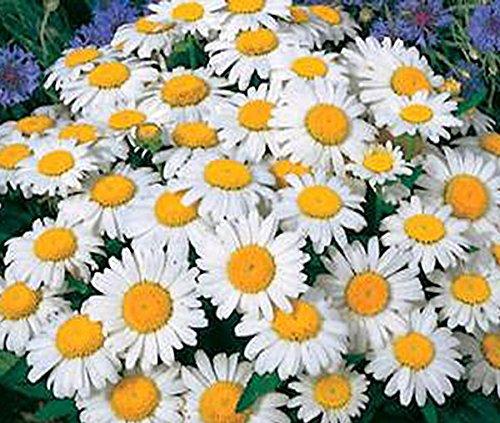 Shasta Daisy - Perennial Full Sun Daisy