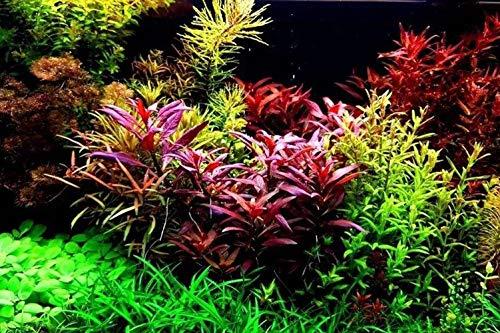 Aquarium Grass Plants SeedsAquatic Coleus Blumei Carpet Water GrassOxygenating Weed Live Pond Plant SeedsFish Aquatic Water Grass DecorEasy to Plant Grow MaintainCYC-10G