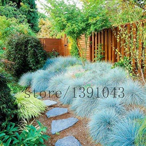 100 Blue Fescue Grass Seeds - Festuca glauca perennial hardy ornamental grass so easy to grow grass for home garden