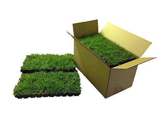 Celebration Bermuda Grass Plugs  72 per Box