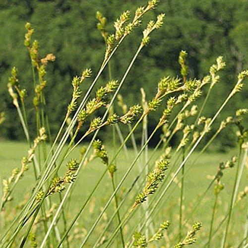 Everwilde Farms - 1 Oz Plains Oval Sedge Native Grass Seeds - Gold Vault