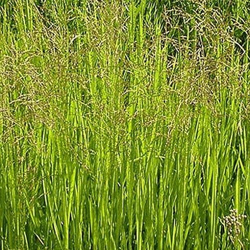 Everwilde Farms - 1000 Reed Manna Grass Native Grass Seeds - Gold Vault Jumbo Seed Packet