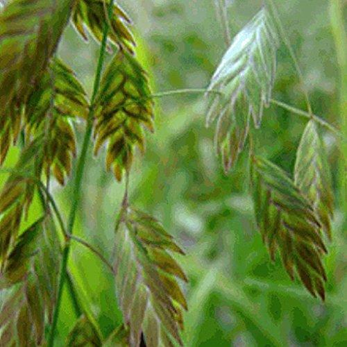 Everwilde Farms - 200 River Oats Native Grass Seeds - Gold Vault Jumbo Seed Packet