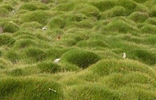 Zoysia Grass Seeds - Zoysia Tenuifolia - No Mow Lawn -18 Lb