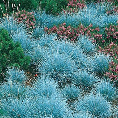 300 Blue Fescue Ornamental Grass Seeds - Festuca Glauca - Perennial