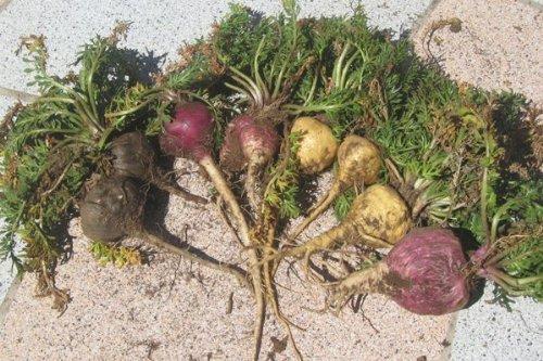 50 Fresh Seeds Of Lepidium Meyenii peruvianum Maca Yellow Type
