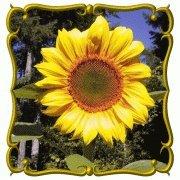 Sunflower Flower Seeds - 50 Count - Sunflower Seeds type Grey Stripe Sunflower Plants - 100 Count - Islas Garden Seeds - Total Quality