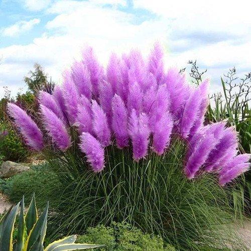 400 Purple Pampas Grass Seeds Ornamental Grass Seeds For Garden Planting Rare Flower Seeds