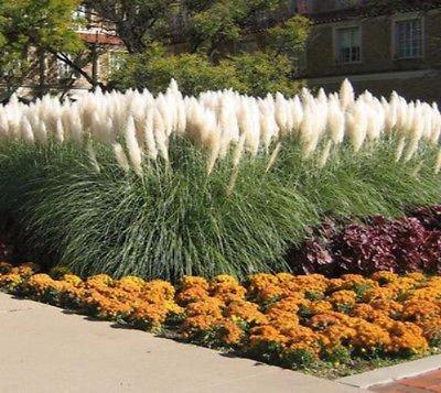 Dwarf Pampas Grass  Cortaderia Selloana Pumila  - Live Plant - 1 Gallon Pot