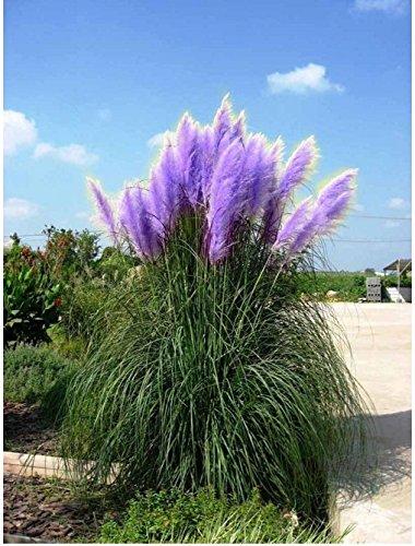 Rare Purple Pampas Grass Seeds Ornamental Plant Flowers Cortaderia Selloana Grass Seeds 1 Pack - 1200 Seeds