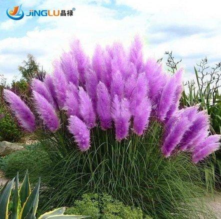 Rare Purple Pampas Grass Seeds Ornamental Plant Flowers Cortaderia Selloana Grass Seeds 100 Pieces  Lot