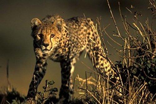 Cheetah Cub in Short Grass Masai Mara Game Reserve Kenya Poster Print by Paul Souders 18 x 12