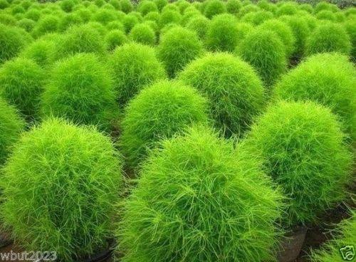 100 Burning Bush Seeds - GREEN Summer Cypress kochia scoparia