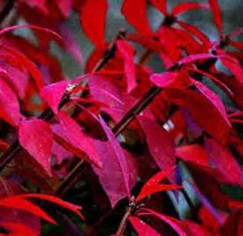 2000 BURNING BUSH SEEDS Bulk Shrub Fall Color Hedge Grass Kochia Scoparia USA