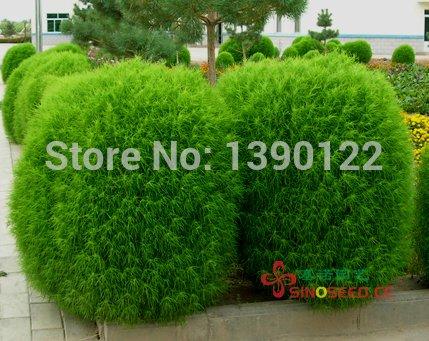 2014 Top Fashion Promotion Summer Seeds Sementes Fd612 Rare Kochia Scoparia Grass Seeds Showy E~z Grow Rapid Exotic Hardy 500pcs