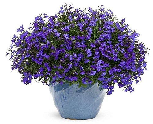 Lobelia Seeds Cobalt BlueBlue Carpetshowydependable edging plantperennial 300