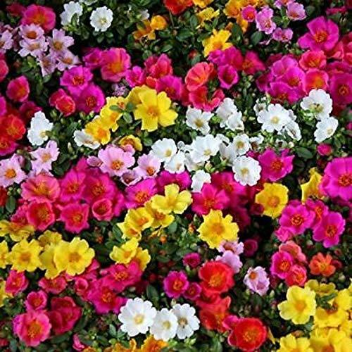 200 Seeds Moss Rose Ground Cover Rock Garden Border Plant Colorfull PLN06
